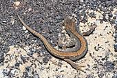 Smooth newt