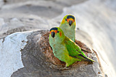 Purple-crowned lorikeets