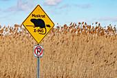 Muskrat crossing, Michigan, USA