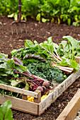 Frisch geerntetes Gemüse in Holzkiste auf Acker