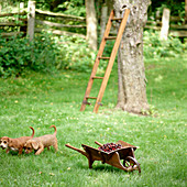 Fresh picked cherries in miniature wheelbarrow in garden with ladder and two dogs