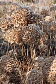 Vertrocknete Blütenstände der Strauchhortensie vom Vorjahr