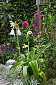 Blühende Hakenlilie im Staudenbeet mit Margeriten, Steppen-Salbei und Flammenblume