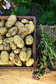 New potatoes thyme oregano rosemary harvest in vegetable garden