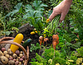 Harvesting potatoes, zucchini and carrots in an allotment garden