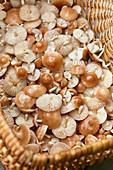 Mushrooms Marasmius oreades in basket