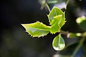 Frischer Blattaustrieb von Stechpalme