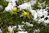 Winterlinge im tauenden Schnee in der Wiese