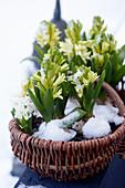 Korb mit Hyazinthen im Schnee