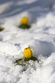 Winterlinge unter Schneedecke