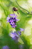 Biene im Anflug auf Lavendelblüte