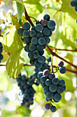 Tonel of Concord grapes in the garden with sun outside