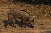 Wild boar scavenging