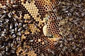 Queen cell in honey bee colony