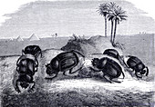 Dung beetles rolling dung balls, 19th century illustration