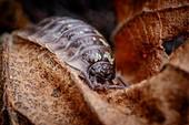 Common woodlouse