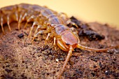 Banded centipede