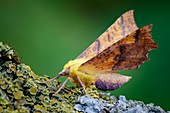 Canary-shouldered thorn moth