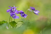 Common dog violet (Viola riviniana)