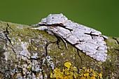 Grey dagger moth