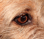 Eye of a mixed breed terrier dog