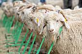 Angora goats at an auction