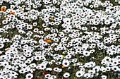 Rain daisies