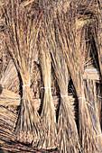 Cape thatching reed (Chlorophytum Tectorum)