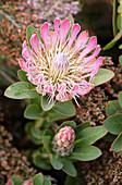 Sugarbush flower