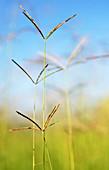 Rhodes grass (Chloris gayana)