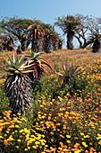 Bitter aloe (Aloe ferox) and daisy flowers