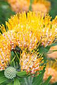 Orange flame pincushion (Leucospermum erubescens)