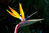 Leafless bird of paradise flower