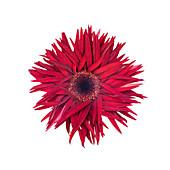 Annual aster (Callistephus chinensis) flower