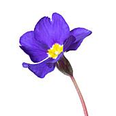 Common primrose (Primula vulgaris) flower