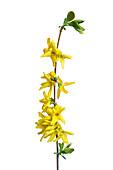 Golden-bell (Forsythia suspensa) flowers