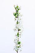 Sweet cherry (Prunus avium) flowers