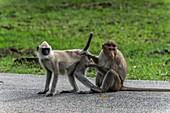 Bonnet macaque attending to a Hanuman langur