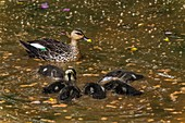 Indian spot-billed duck and ducklings, India