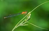 Female common bluetail damselfly