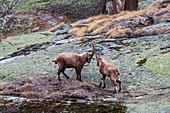 Alpine ibexes, Italy