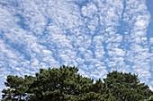 Altocummulus stratiformis clouds.