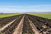 Lettuce farming, Arizona, USA