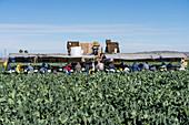 Farm workers harvesting cauliflower, Arizona, USA