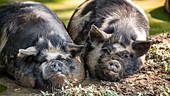 Kunekune pigs in a mud puddle