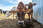 Dairy cows on a farm