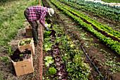 Man harvesting salad leaves on a farm