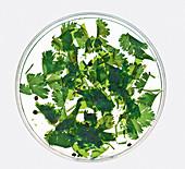 Coriander plates (molecular cuisine)