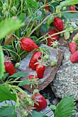 Erdbeerpflanzen im Garten