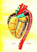 Foetal heart, illustration